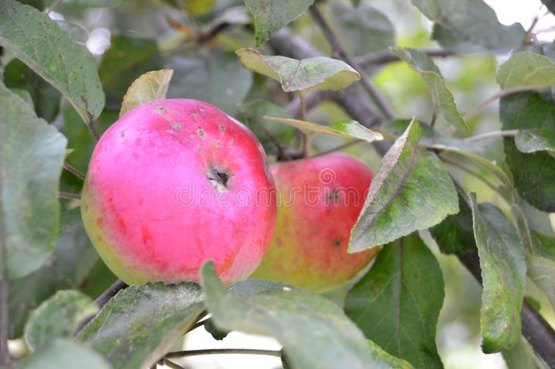 Two red apples on a branch. With green leaves stock photography