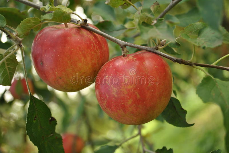 Two red apples royalty free stock photography