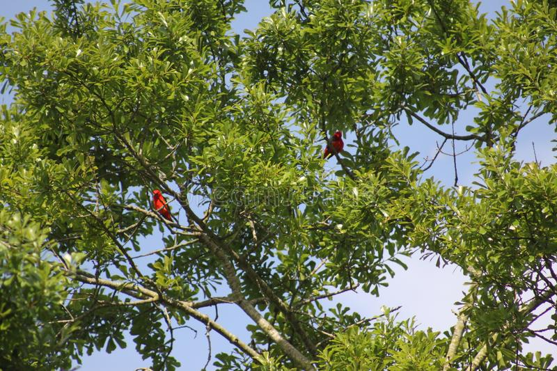 Two red birds in a tree royalty free stock image