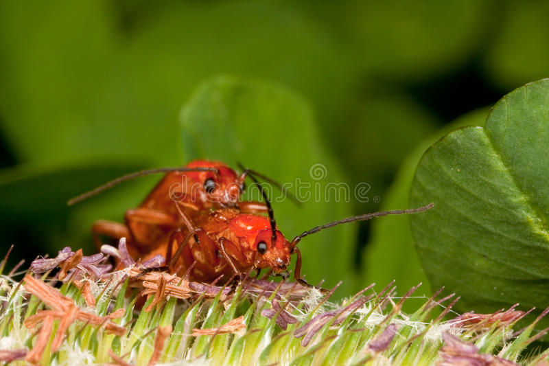Download Two red bugs having fun stock photo. Image of pyrochroa - 12805544