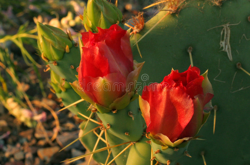 Two red cactus flowers royalty free stock photo
