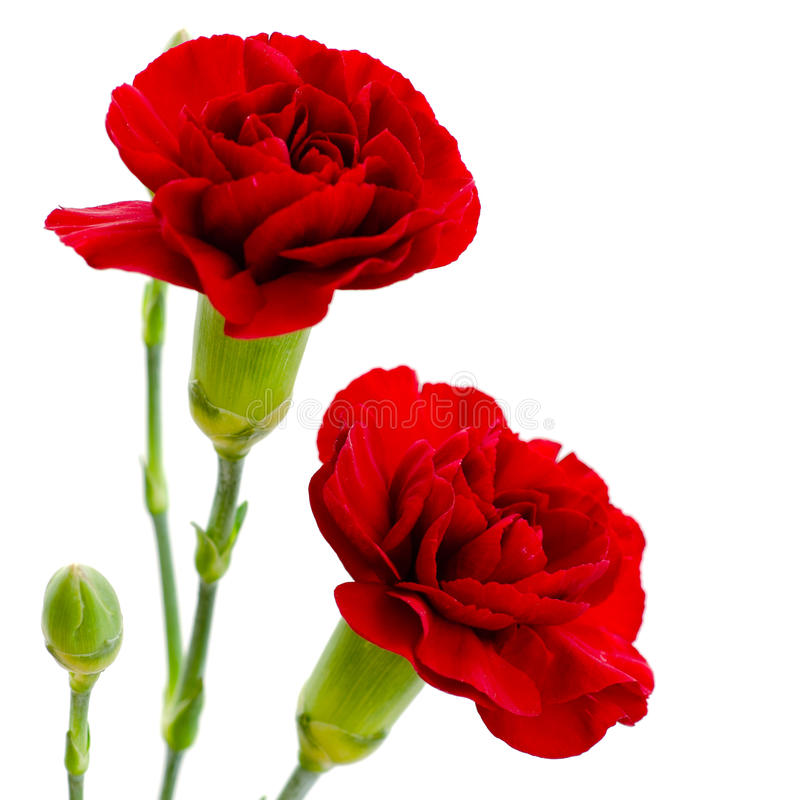 Two red carnation flowers on a white background. Two red carnation flowers in full bloom on a white background stock image