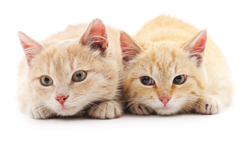 Two red cats. stock images