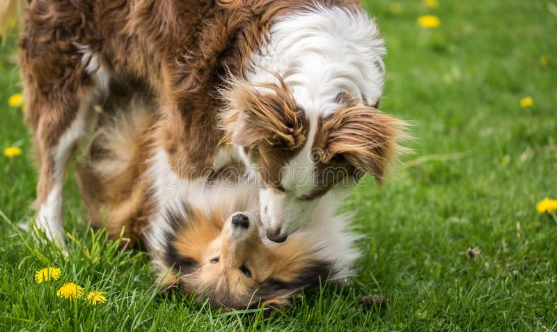 Two beautiful collie dogs are played on green grass royalty free stock images