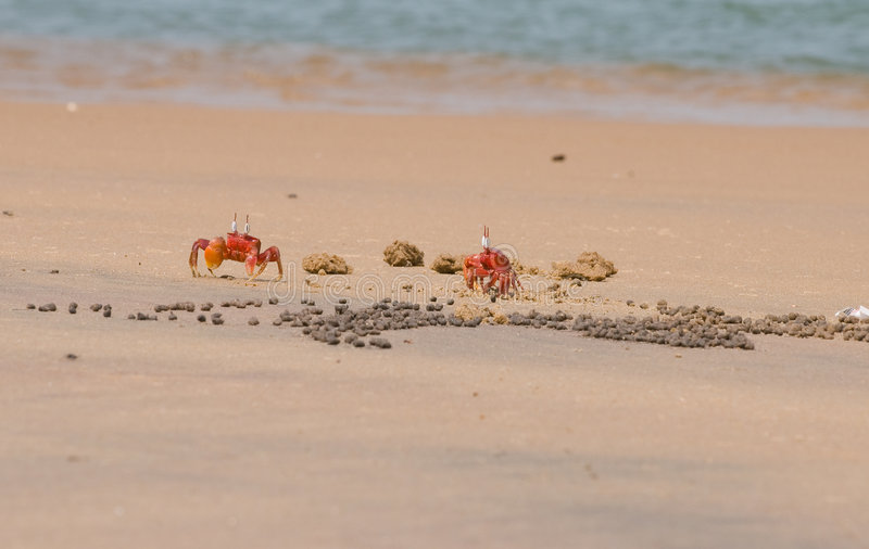 Two Red Crabs royalty free stock photos