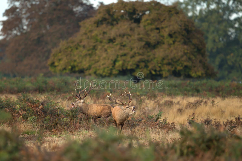 Two Red Deer Stags Roaoring royalty free stock photo