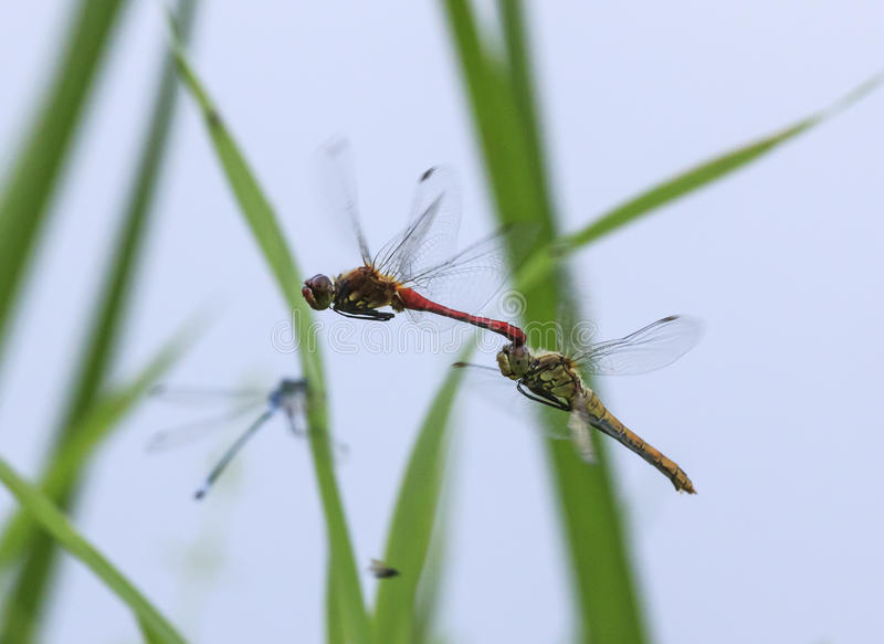 Two red dragonflies mating in flight royalty free stock images