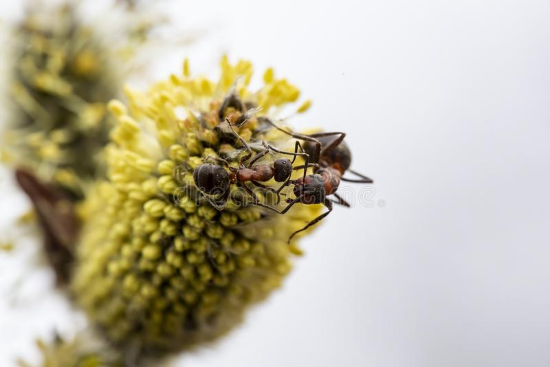 Two red forest ant Formica rufa are fighting on a fluffy, yellow willow bud, on a blurred background. Macro. Close-up royalty free stock photo