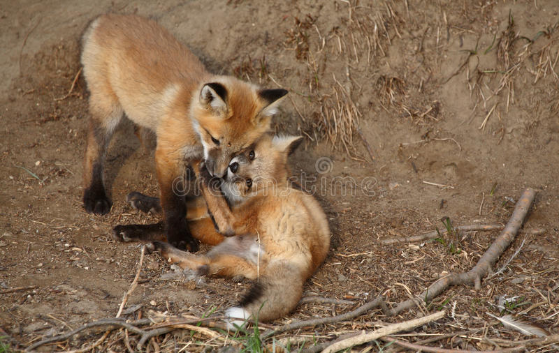 Two Red Fox pups royalty free stock photos