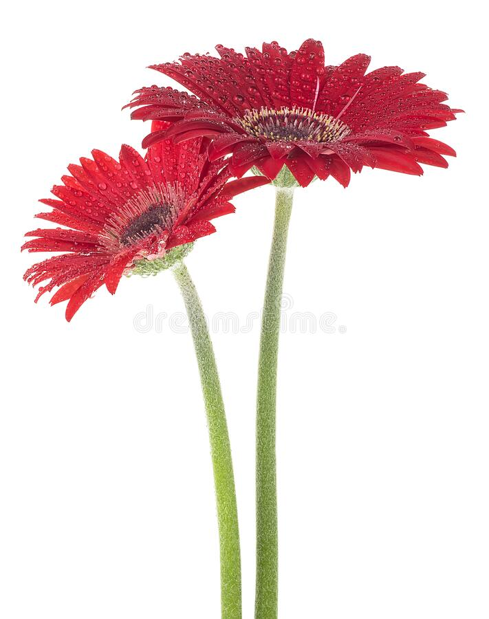 Two red gerberas isolated on white background. Flowers in water drops. Two red gerberas isolated on a white background. Flowers in water drops royalty free stock photo