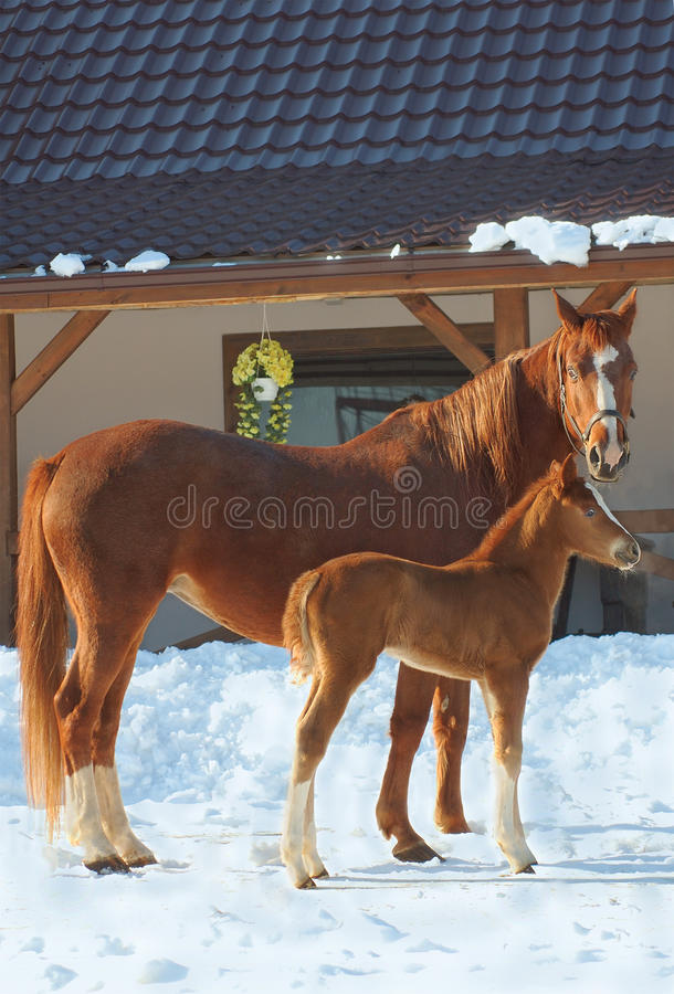 Two Red Horses Royalty Free Stock Images