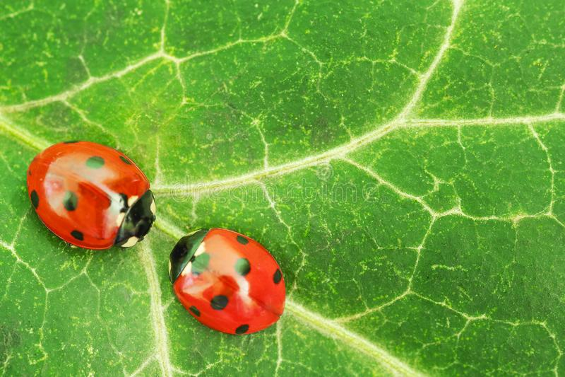 Two red ladybugs. Macro shot of two red ladybugs standing against each other on a green leaf royalty free stock image