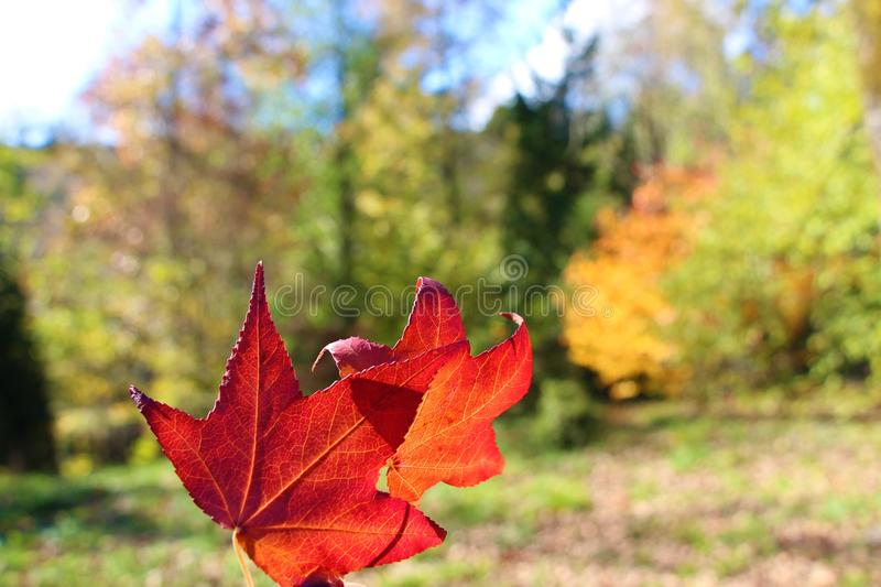 Two red leaves in autumn royalty free stock image