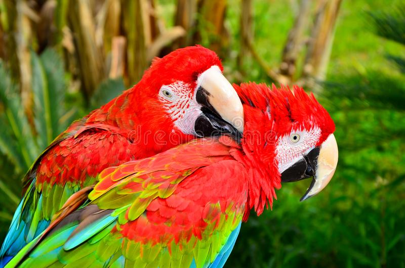 Two red macaw parrots royalty free stock photo