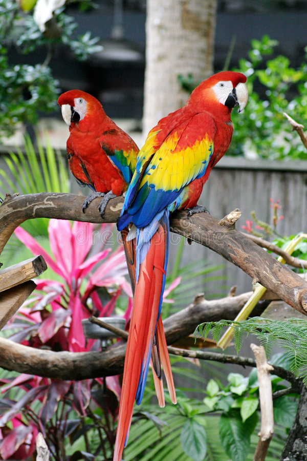 Two Red Macaws. Two colorful macaw parrots sitting in a jungle environment