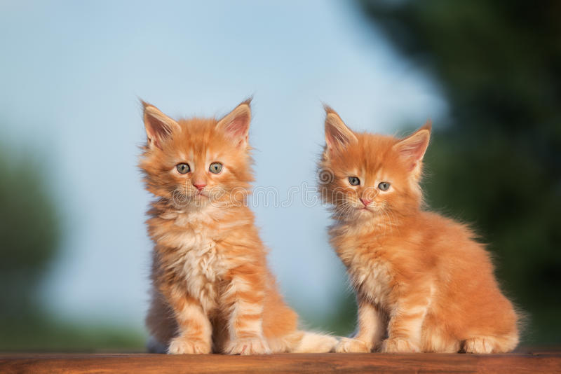 Two red maine coon kittens stock photo