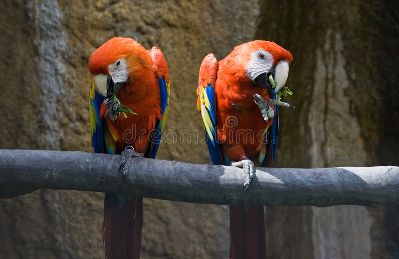 Two red parrots eating. Two red parrots sitting on a branch and eating stock image