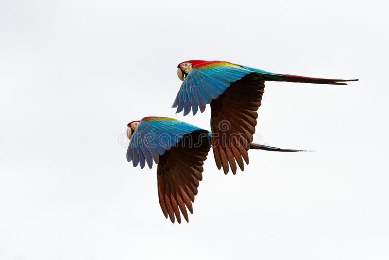 Two red parrots in flight. Macaw flying, white background, isolated birds,red and green Macaw in tropical forest, Brazil, Wildlife stock photos