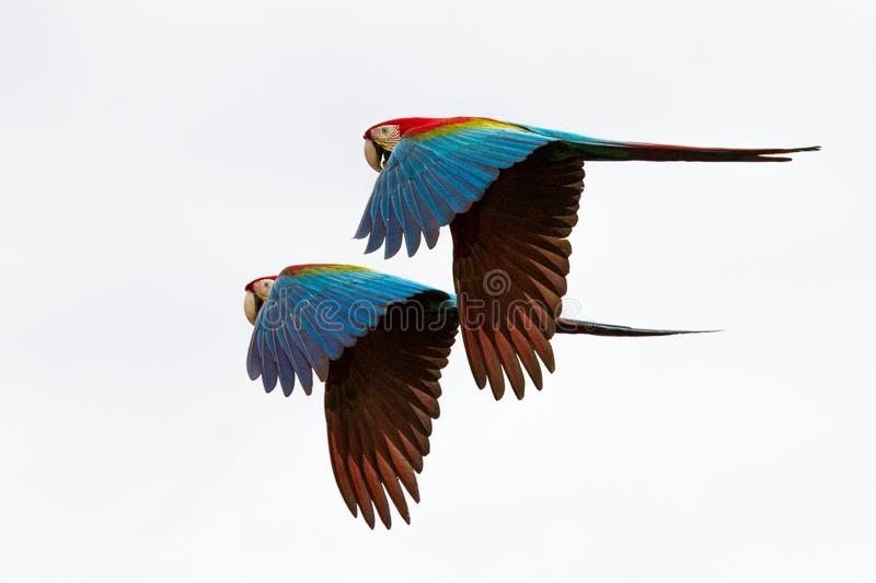 Two red parrots in flight. Macaw flying, white background, isolated birds,red and green Macaw in tropical forest, Brazil stock photo