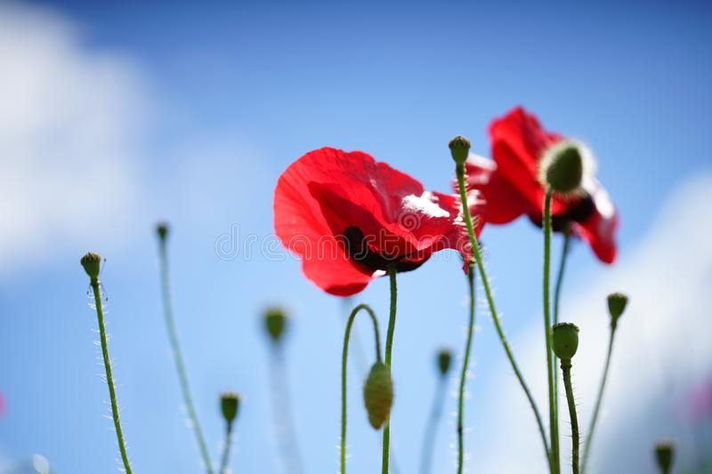 Two red poppies on the blue sky background. Extreme close up capture. You can use this image as background or wallpaper royalty free stock images