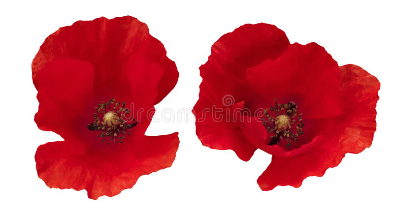 Two Red Poppies isolated royalty free stock photography
