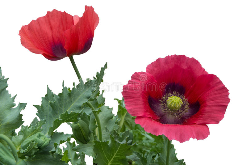 Two red poppies with leaves isolated on a white background. In natural setting, not cut from their plant stock image