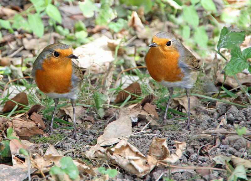 Two red robins. Photo of two british red robins coming face to face with each other! august 2016 royalty free stock photo