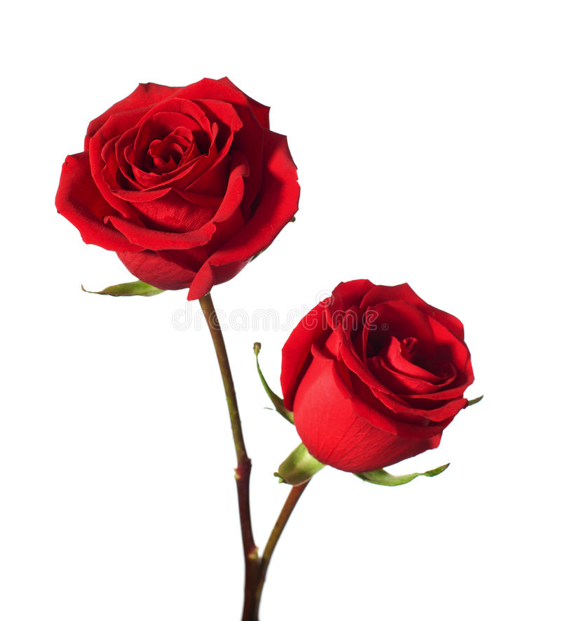 Two red roses royalty free stock photography