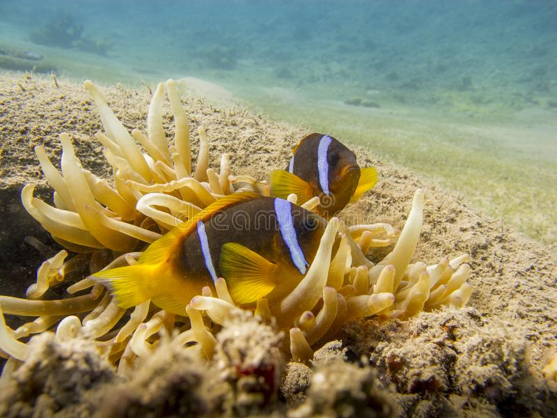 Two Red Sea anemonefish and an anemone in a tire underwater. Red Sea anemonefish Amphiprion Bicinctus underwater at dive site Bannerfish Bay in Dahab, Egypt stock photo