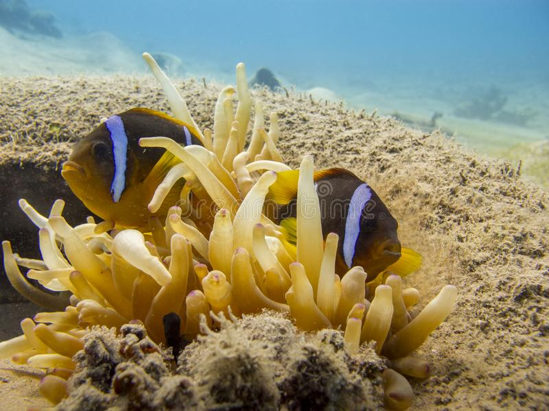 Two Red Sea anemonefish and an anemone in a tire underwater. Red Sea anemonefish Amphiprion Bicinctus underwater at dive site Bannerfish Bay in Dahab, Egypt stock image