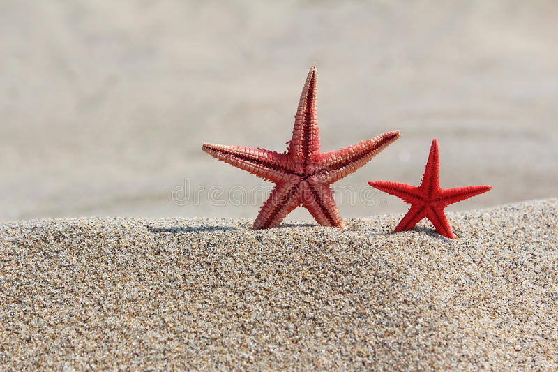 Two red starfishes in sand on beach royalty free stock images