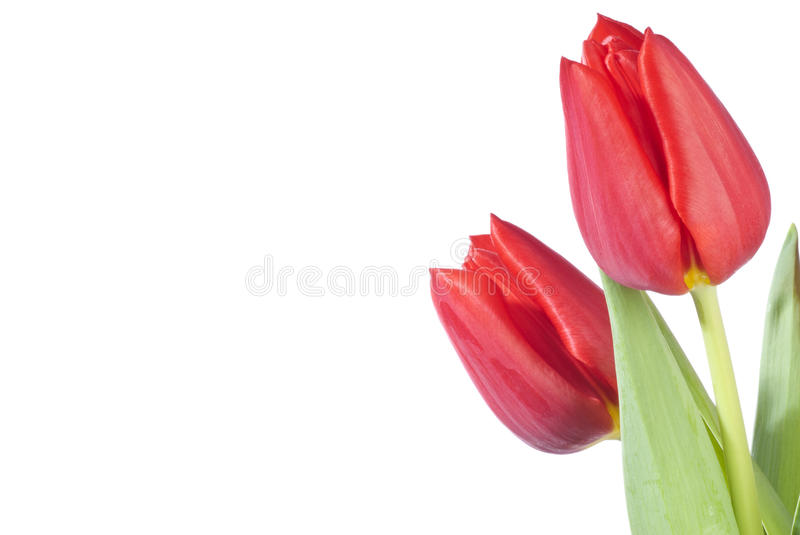 Two Red Tulips. Isolated on white stock photos