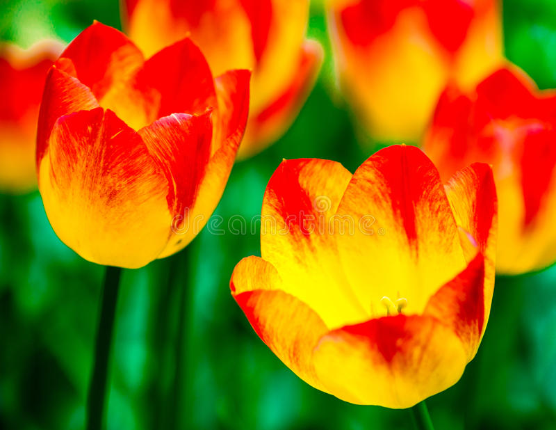 Two red and yellow tulip flowers stock photography