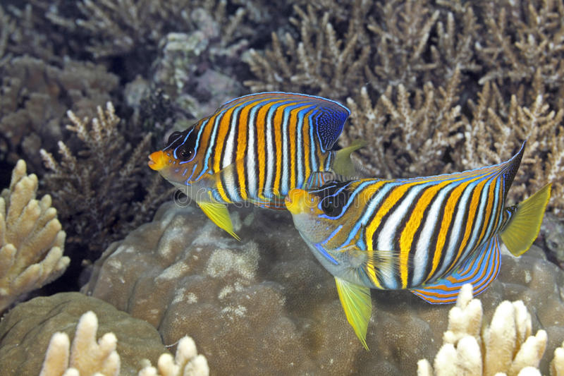 Download Two Regal Angelfish Stock Photo - Image: 39005746