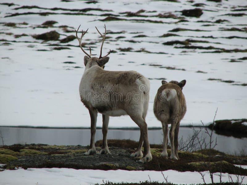 Download Two Reindeer Stock Image - Image: 2306891
