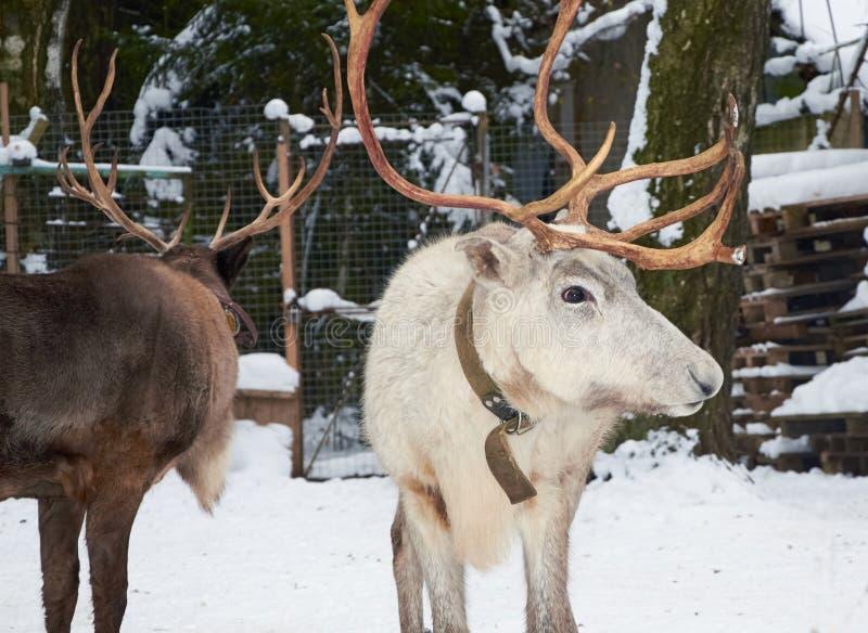 Two reindeer winter grazing paddock. Two reindeer graze in the forest in winter stock photography