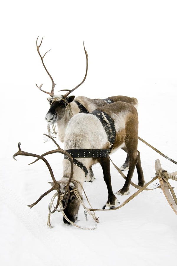 Two Reindeers Stock Image