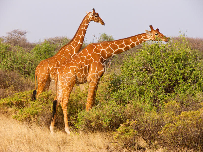 Two reticulated giraffe eating leaves from bushes. Two young males of reticulated giraffe (Giraffa camelopardalis reticulata) eating leaves from bushes of royalty free stock photography