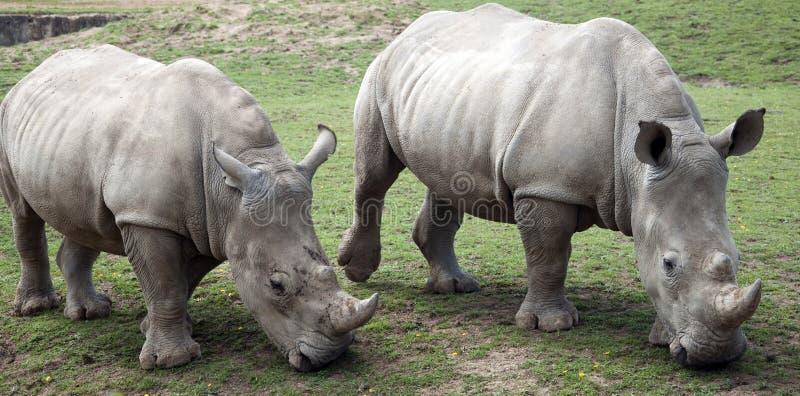 Download Two Rhino Grazing stock image. Image of five, beast, wildlife - 15637993