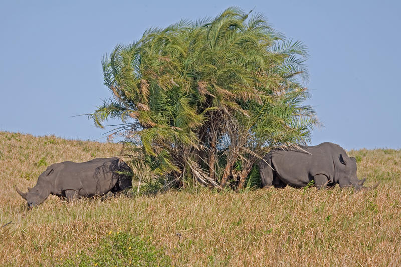Download Two rhinoceros stock photo. Image of southern, mammal - 11532604