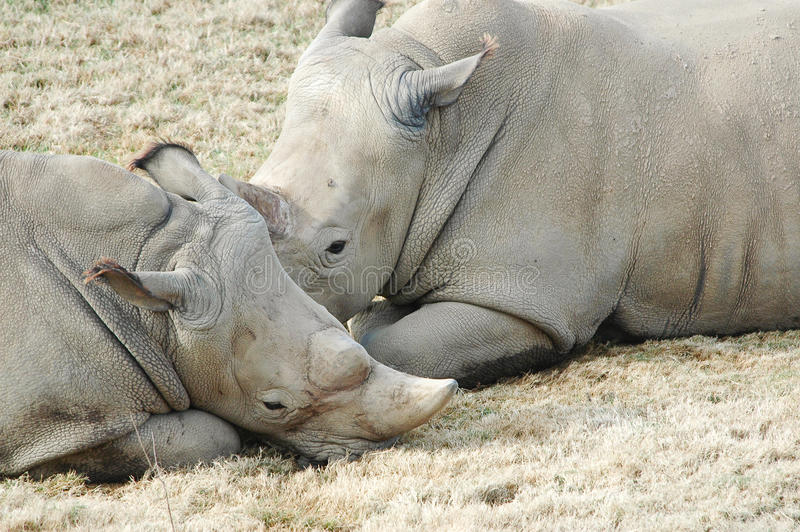 Download Two Rhinoceros stock photo. Image of animals, family - 12446510