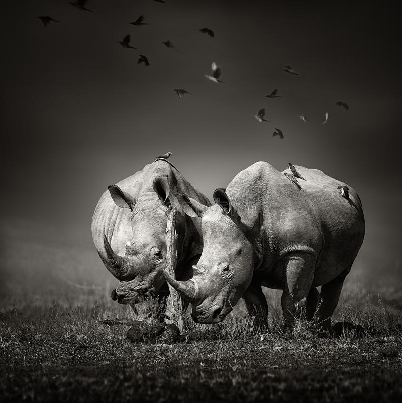 Two Rhinoceros with birds in BW stock photos