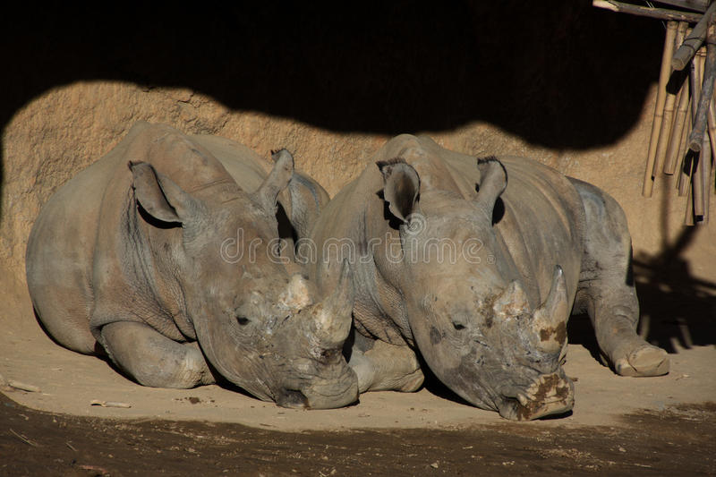 Two rhinoceros laying on the ground.  royalty free stock photography