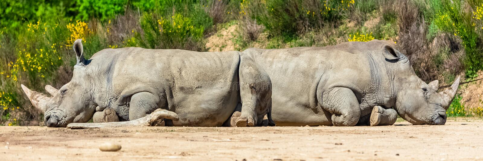 Two rhinoceros slept. In a funny, strange position, funny attitude royalty free stock photos