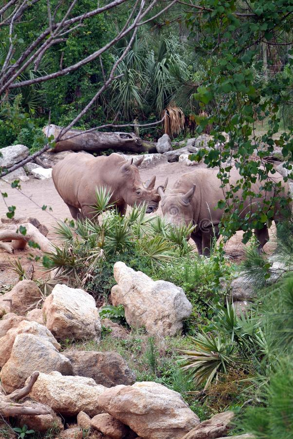 Two Rhinoceros royalty free stock photos