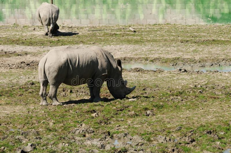 Two rhinoceros in the zoo royalty free stock photo