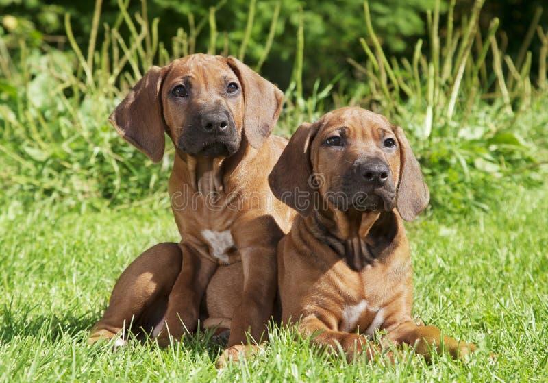 Two Rhodesian Ridgeback puppies outdoors stock photography