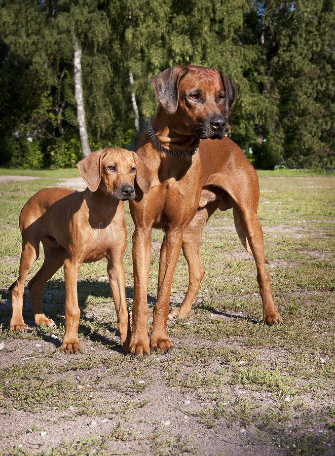 Two rhodesian ridgebacks. Puppy and his father looking forward royalty free stock photography