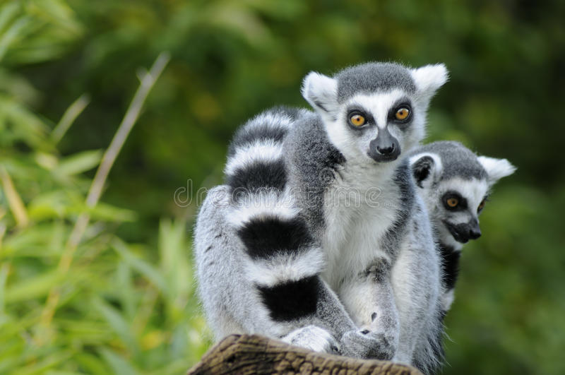 Two ring-tailed lemur stock image