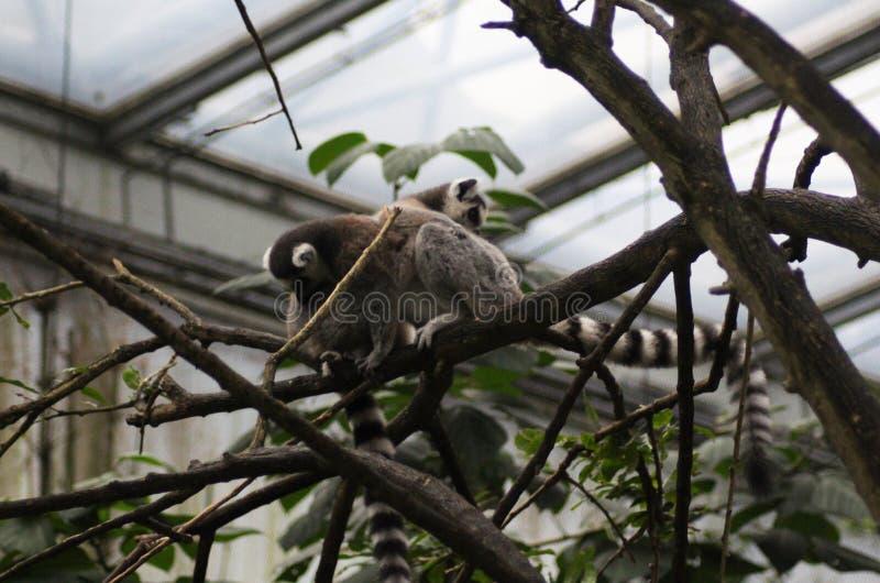 Download Two Ring tailed lemur stock photo. Image of eyes, hangin - 83704372